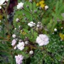 A garden flower photo (Gypsophila repens)