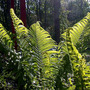 Sunglow on Ostrich Fern (Matteuccia struthiopteris (Ostrich fern))