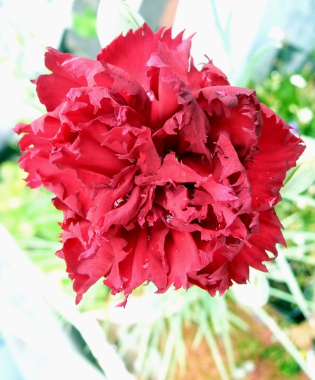 A garden flower photo (Dianthus caryophyllus (Carnation Can-Can))