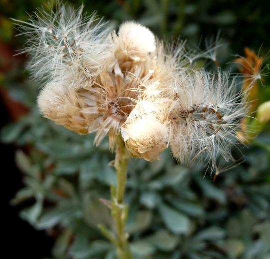 A garden flower photo (Antennaria dioica)