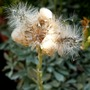 A garden flower photo (Antennaria dioica)