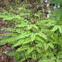 Maidenhair_ferns_4_30_4_med