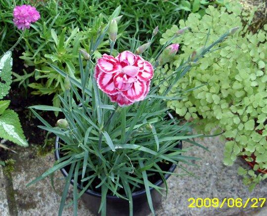 Dianthus Starburst (Dianthus alpinus (Alpine Pink))