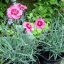 Dianthus Indian Star (Dianthus alpinus (Alpine Pink))