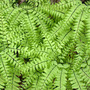 Northern Maidenhair Fern From Above (Adiantum pedatum)