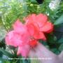 Rose_Fred_Loads_2009-06-25_002.jpg