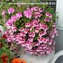Pelargoniums_on_balcony_table_2009-06-25_001.jpg
