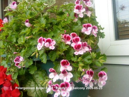 Pelargonium_Angel_Eyes_Randy_2009-05-23.jpg