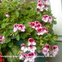 Pelargonium_angel_eyes_randy_2009_05_23