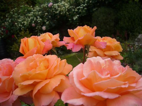 Hearts beating in my front garden ~ June 2009.