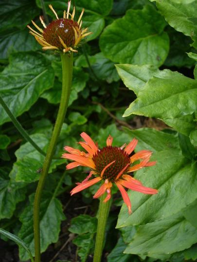Echinacea 'tiki torch'  (Echinacea purpurea (Coneflower))