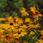 Rudbeckia (Rudbeckia fulgida (Black-eyed Susan))