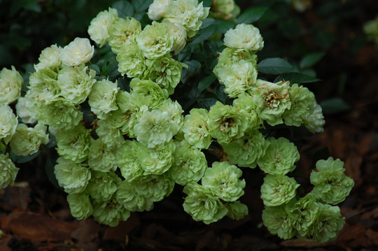 Green Ice Miniature Rose (Rosa 'Green Ice')
