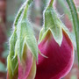 Sweet Pea.......promise of things to come...:o) (Lathyrus odoratus (Sweet Pea))