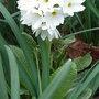 Primula_denticulata_white