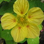 Winter in northern Oz:  Nasturtiums are blooming (Tropaeolum majus (Compact Nasturtium))