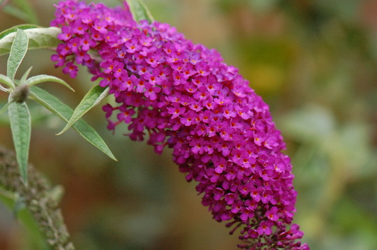 Buddleia 'Black Knight' (Buddleja davidii (Butterfly bush))