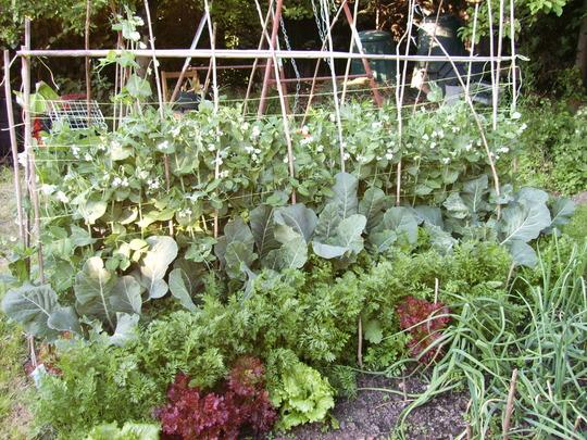 Veggy patch summer 2007