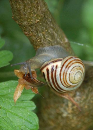 Snail having breakfast.
