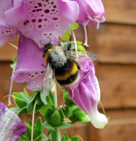 Bee on Foxglove plant 28 June 2009