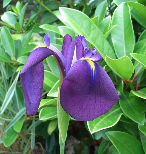 Iris laevigata - 2009 (Iris laevigata)