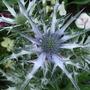 Eryngium bourgatii (Eryngium bourgatii (Eryngium))