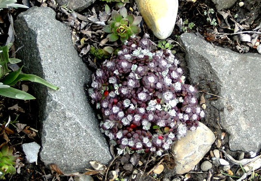 Sedum purpurea (Sedum spectabile (Ice plant))