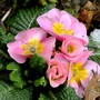 Pink primula (Primula variabilis)
