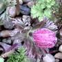 Anemone de caen (Anemone de Caen)