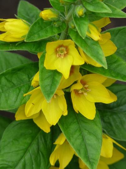 Yellow Loosestrife (Lysmachia)