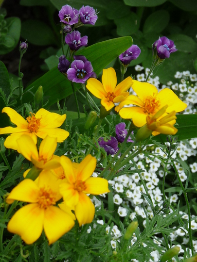 Tagetes and Alyssum (Tagetes tenuifolia (Tagetes))