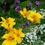 Tagetes and Alyssum (Tagetes tenuifolia (Tagetes))