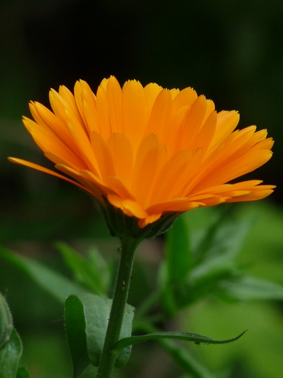 Pot Marigold .... Calendula (Calendula officinalis (English marigold))