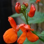 Runner beans beginning to flower....:o) (Phaseolus coccineus (Runner bean))