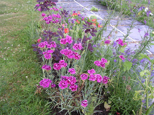 A garden flower photo (Dianthus)