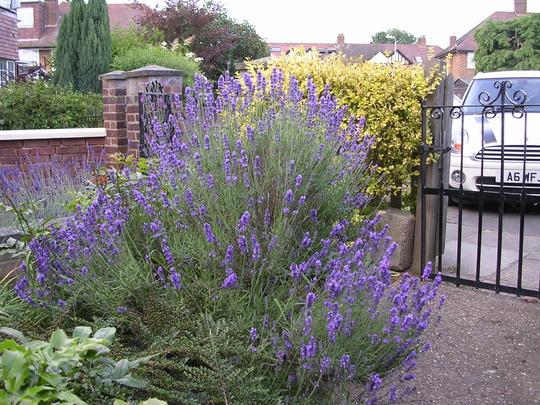 A garden flower photo (Lavandula x intermedia (English Lavender))