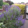 A garden flower photo (Lavandula x intermedia (English Lavender))