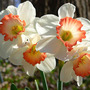 Daff_ring_of_fire_4_blooms_4_11_05_med