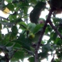Parakeet in our cherry tree eating fruit 28 June 2009