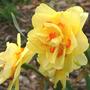 Daff_tahiti_2_blooms_4_15_06_med