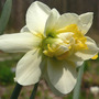"Daffodil ""Wave"" (Narcissus ""Wave"")"