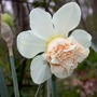 Daff_rosy_cloud_good_4_21_05