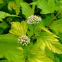 Common ninebark blooms (Physocarpus opulifolius 'Dart's Gold')