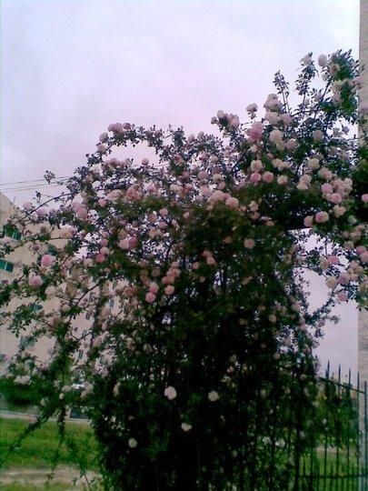 rose (Rosa damascena (Damask Rose))
