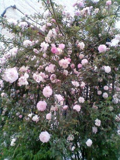 A garden flower photo (Rosa damascena (Damask Rose))