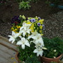 white lillys