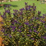 Purple_hebie