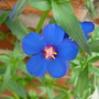 Anagelis 'skylover blue'
