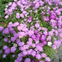 Candytuft (Annual)