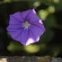 Convolvulus mauritanicus (Convolvulus mauritanicus)